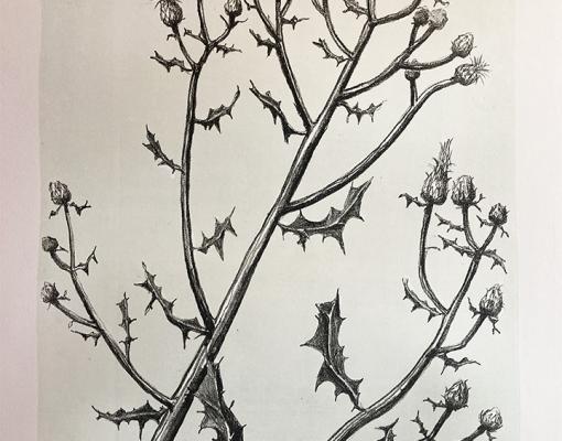 "Lithografisk tryk ""Centaurea Scabiosa"""